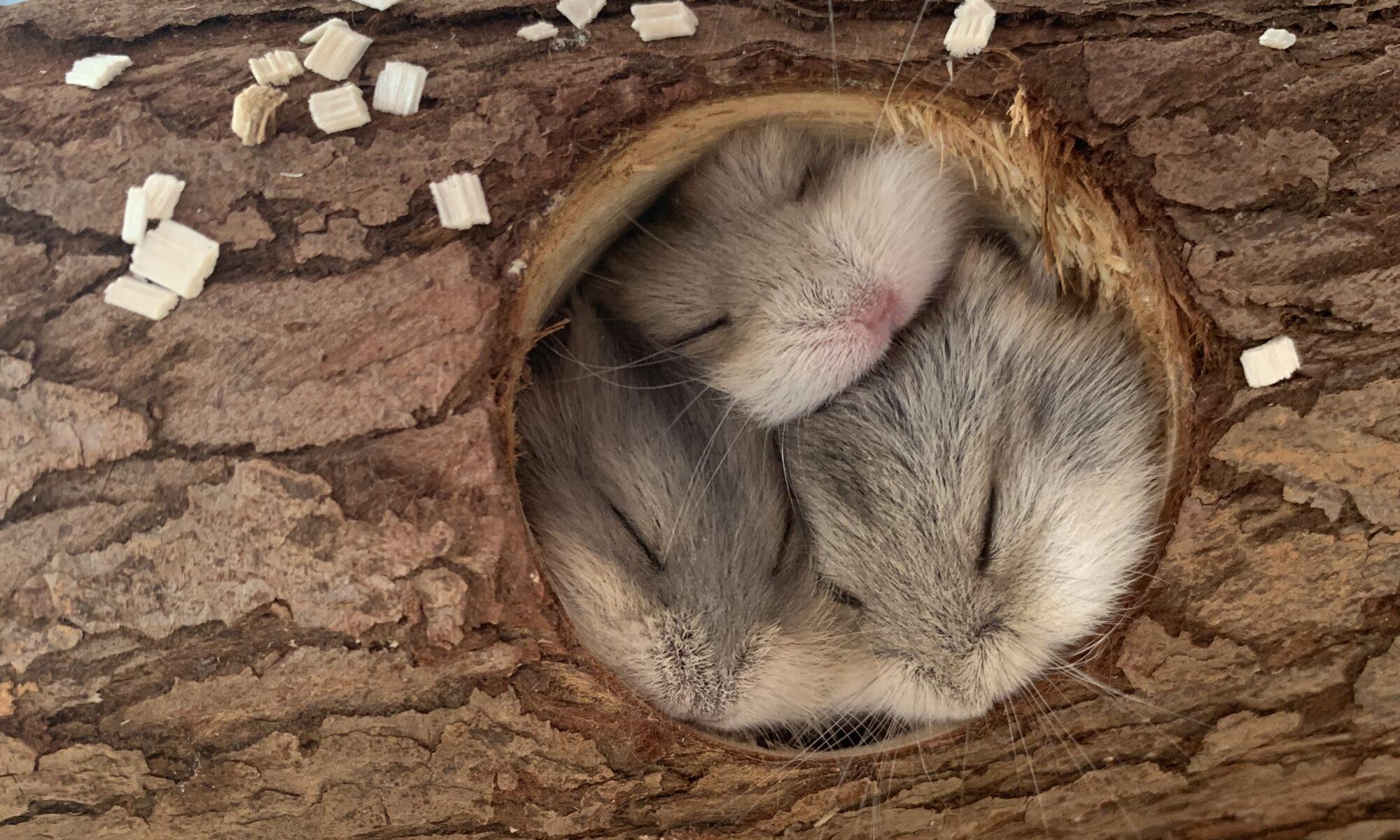 Sahi's Hamsteropdræt